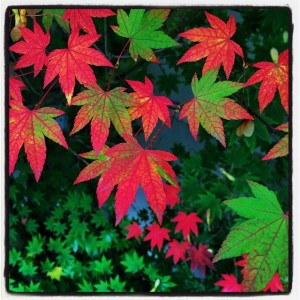 Japanese maple at the University of Oregon by Brian Davies