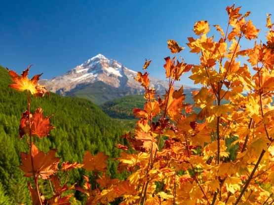 Vine maples and mt hood on the left.jpg